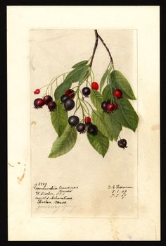 Artist:     Passmore, Deborah Griscom, 1840-1911  Scientific name:     Amelanchier canadensis var. obovalis  Common name:     Eastern shadbush  Geographic origin:     Boston, Suffolk County, Massachusetts, United States  Physical description:     1 art original : col. ; 17 x 25 cm.  Specimen:     43829  Year:     1909  Notes on original:     Juneberry spray; serviceberry  Date created:     1909-07-07