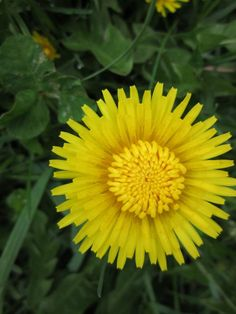 The Dandelion for example is high in calcium (a mineral that protects bones and teeth, prevents muscle cramping and maintains a regular heart beat.  The USDA recommended daily allowance for calcium is 800 mg.  One cup of Spinach has 102 mg of calcium, one cup of Kale has 206 mg and one cup of Dandelion leaves has 4,000 mg!