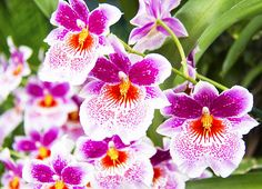 Tropical Miltoniopsis Purple Orchids - Photography by Daphne Sampson