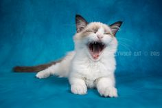 14 Week oud. Ragdoll Lady Sif, Cats, Animals, Gatos, Animales, Kitty Cats, Animaux, Animal Memes, Cat Breeds