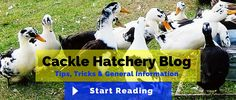 Chickens for Sale - Baby Chicks, Poultry & Fowl Egg Hatchery Chickens For Sale, Buy Chickens, Cuckoo Maran, Future Farms, Small Chicken, Chicken Breeds, Baby Chicks, Chicken Eggs, Poultry