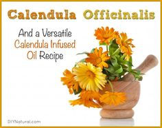 Calendula Officinalis--a versatile, useful, medicinal plant species--is a powerful group of pretty plants, useful in soap making, lotions, balms, and more!