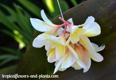 How to Make a Spiral Plumeria Lei