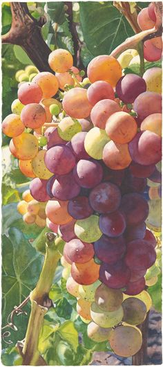 Grapes and Wine - Cara Brown - Life in Full ColorCara Brown – Life in Full Color L'art Du Fruit, Fruit Art, Fruit And Veg, Fruit Trees, Watercolor Fruit, Fruit Painting, China Painting, Watercolor Flowers, Grape Painting