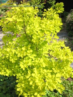 cotinus 'Golden Spirit' - summer Deciduous Trees, Trees And Shrubs, Sun Plants, Garden Plants, Colorful Shrubs, Landscaping Trees, Contemporary Garden, Drought Tolerant, Climbers