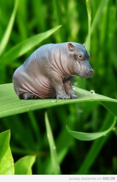 aww look at the little hippo