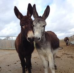 Donkeys 'sharing' a stick....just like a couple of big dogs :o)