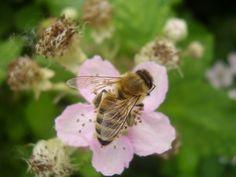 Mehiläisten, Pölyttäjä, Hyönteinen, White