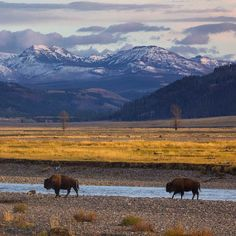 Bison march their way across Lamar Valley in Yellowstone… by @chasedekkerphotography - Square Pics