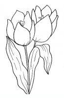 disegni/fiori/tulipano.JPG
