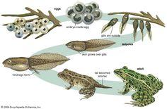 Metamorphosis -- egg to tadpole to frog Tadpole To Frog, Tadpole Eggs, Lifecycle Of A Frog, Trans Art, Frog Theme, Frog Life, Bible School Crafts, Montessori Practical Life, Canada Images