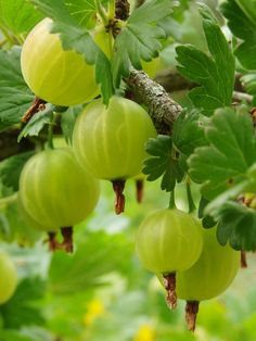 Gooseberry Plant - Light green berries turn pink when ripe. Fruit is juicy and tart if not fully ripe. Great for pies and preserves. Bush great as ornamental with glossy leaves that turn purple in fall. Gooseberry Plant, Gooseberry Bush, Zone 6 Plants, Berry Plants, Plant Lighting, Fruit Trees, Vegetable Garden, Fruit Garden, Green Garden