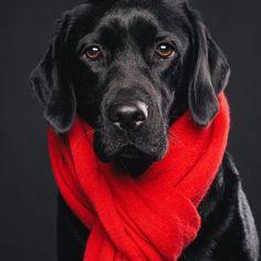 Labrador Retriever ~ Classic Look
