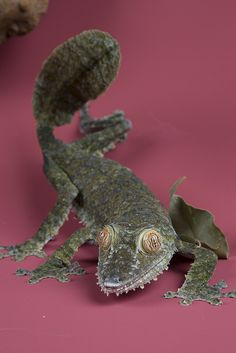 Giant leaf-tailed Gecko - (Uroplatus fimbriatus) by Smithsonian's National Zoo, via Flickr