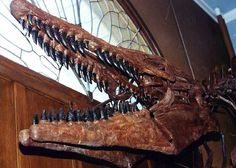 "The skull of this mosasaur is almost 6 feet long. You can also see the lower side of a typical ""Tylosaur"" snout, where the premaxillary that extends significantly beyond the first tooth row. It has been suggested that Tylosaurs may have used this bony snout as a ram. Displayed right inside of the door of the Museum of Natural History, University of Kansas, Lawrence. The jaws are filled with large (3-4 inch) conical teeth."