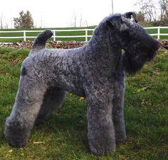 Kerry Blue Terrier in a field
