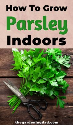 Do you want to learn how to grow, care, and properly harvest and use Parsley? Then read this article to learn How to Grow Parsley in 12 Simple Tips! Hanging Herb Gardens, Vertical Herb Gardens, Hanging Herbs, Hanging Planters, Growing Herbs, Growing Vegetables, Growing Ginger, Parsley Plant, How To Grow Parsley