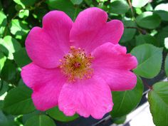 Overview of Rose Types: Wild, Old Garden & Modern