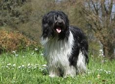 You would be forgiven for not ever having heard of the lovely Dutch sheepdog called a Schapendoes because the breed has been kept somewhat of a secret, ev. Portrait, Dog Love, Best Dogs, Dog Breeds, Cute Dogs, Dutch, Cute Animals, Images, Puppies