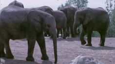 File footage of Toronto Zoo elephants from the 1970s