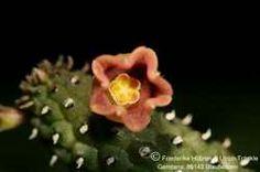 Echinopsis archeri