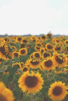 to walk through a field of sunflowers