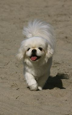 pekinese; Bella def got her tail from the pekinese instead of the poodle :)