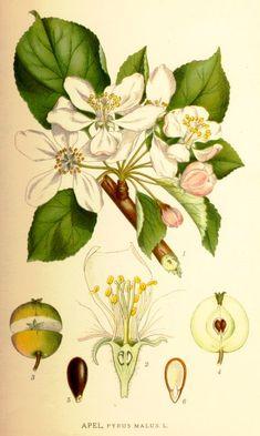 skolplanch äpple