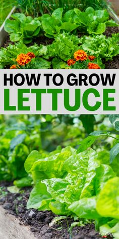 Lettuce is a great, easy to grow crop for the garden. It's suitable for almost all areas, and can be easily grown from seed. Learn how to grow lettuce from seed- even for beginning gardeners! Vegetable Garden For Beginners, Backyard Vegetable Gardens, Gardening For Beginners, Gardening Tips, Grow Lettuce, Growing Squash, Growing Peas, How To Harvest Lettuce