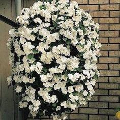 Tempo White Impatiens - Annual Flower