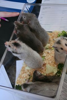 We want to go out! Syrian hamster puppies.