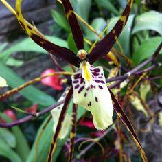 The spidery Brassidium Longlen orchid 'Bill Switzer' #orchidgalore  (at Lewis Ginter Botanical Garden)