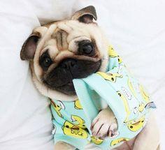 How #cute #4everpug #pug #pugs #pugsofinstagram#puglove #pugbasement #pugnation #pugworld #pugslovers #puglovers #puglover #pugpuppy #pugsnotdrugs #pugloversclub #puglife #puggle @4everdog #pugglesofinstagram #pugoftheday #pugofinstagram #pugsproud_feature #pugsoninstagram #pugloversofinsta #pugaday #pugpuppies #pugsrequest #pugbasement