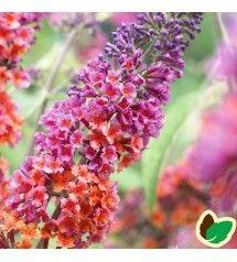 Sommerfuglebusk Flower Power Buddleia Davidii Flower Power Med Billeder Sommerfuglebusk Flower Power Planter