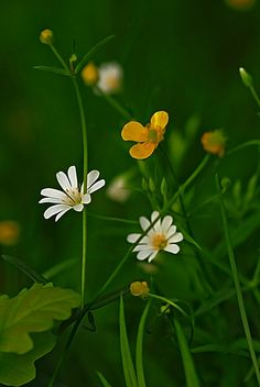 Wild flowers in Russia. Forest Flowers, Flowers Nature, Wild Flowers, Rose Wallpaper, Wallpaper Backgrounds, Flower Pictures, Nature Pictures, Floral Photography, Nature Photography