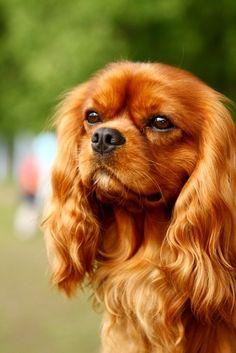 Ruby Cavalier King Charles Spaniel, looks like my Georgie!