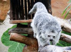 14 Best Binturongs Images Beautiful Cats Pretty Cats
