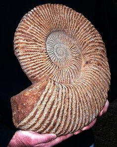 Huge ammonite www.etsy.com/shop/GoldenHourMinerals http://stores.ebay.com/Golden-Hour-Fossil-and-Mineral