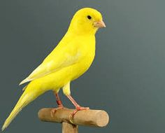The yellow canary is the most common color in canaries, in fact many people relate the canary bird to the yellow color, which is present in most races Exotic Birds, Colorful Birds, Yellow Birds, Pretty Birds, Beautiful Birds, Little Bird Helicopter, Canario Da Terra, Canary Birds, Crazy Bird