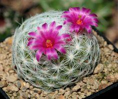 Mamillaria humboldtii, by jeffs bulbesetpots, via Flickr