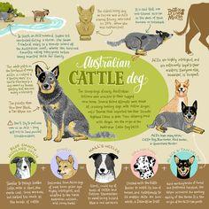 Australian Cattle Dog Infographic Print