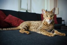 The Ashera Cat - looking regal | par AussieGold