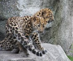 MN Zoo leopard cubs were named the Cutest Baby Animals in U.S. Zoos by Travel+Leisure!