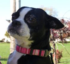This is Abbey..she is available for adoption in Columbus Ohio through Midwest Boston Terrier Rescue http://www.petfinder.com/petdetail/21363398