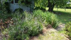 Lavender seems to love the sunny front yard, and butterflies certainly love the lavender. #organicherbs Organic Herbs, Chesapeake Bay, B & B, Acre, Countryside, Butterflies, Lavender, Heaven, Plants