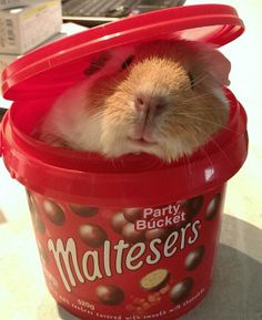 looking for maltesers...and finding a cute piggy