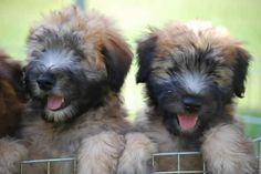 wheaten terrier pups ;)