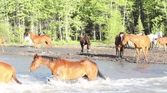 7D Ranch wrangles horses over the river