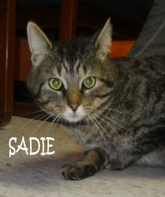 UPDATE-ADOPTED!   AVAILABLE 3/1! STRAY Tag# 29387 Name is Sadie  Tiger  Female-unsure of spay  Gorgeous girl that is outgoing and social!  https://www.facebook.com/photo.php?fbid=600118193392337&set=a.600117590059064.1073741974.267166810020812&type=3&theater