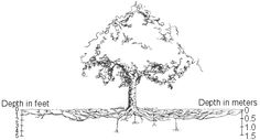 """I have a maple tree whose roots are showing through the soil Black Ash Tree, Roots Drawing, Palm Tree Tattoo Ankle, Tree Sketches, Tattoo Sketches, Christmas Tree Tops, Dogwood Trees, Maple Tree, Pine Tree"